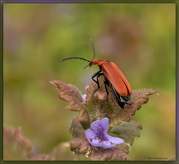 Cardinal Beetle 2 by ade123