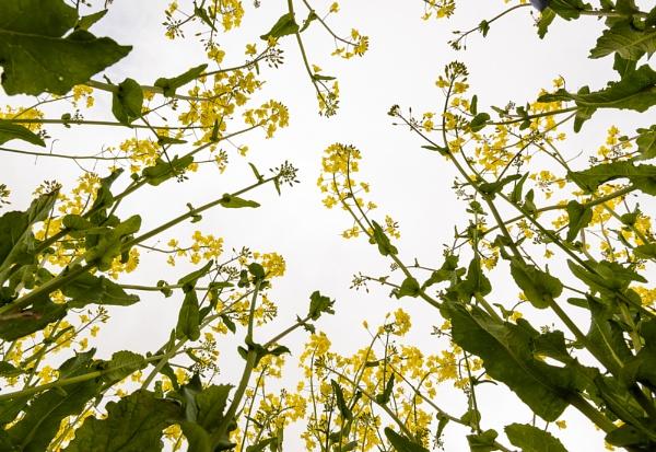 Oilseed Rape by billmyl