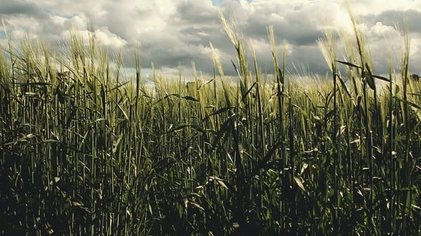 rye field by Sigita