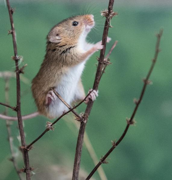 Harvest mouse. (captive) by 10delboy