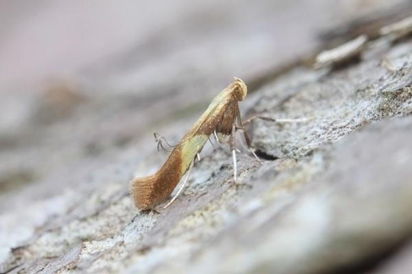 15.008  [BF 0286] Caloptilia alchimiella by Andy_brown
