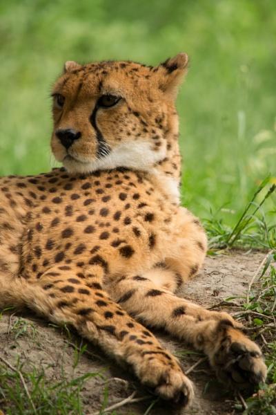 Cheetah by FloKl