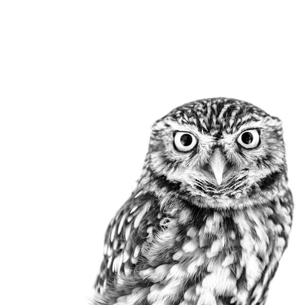 Owl by Janboy