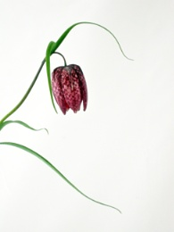Portrait of a Fritillary