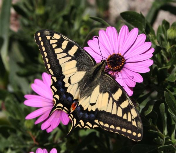 Swallowtail by Pejadee