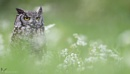 African Spotted Eagle Owl by VinceJones