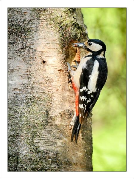 Great Spotted Woodpecker by danja