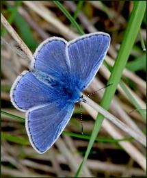 Common Blue-Polyommatus icarus 03.