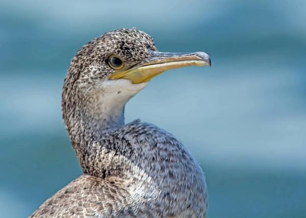 Cormorant Juvenile by delboy85