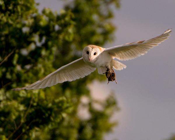 Barn Owl by PIXELLENCE