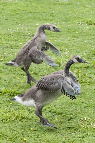 Goslings by popeyebilly