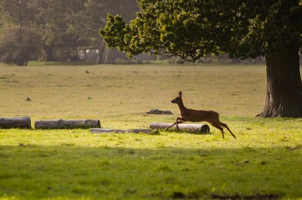 Roe Deer by OliPackwood