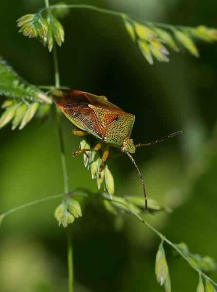 Birch Shieldbug by Joken_9