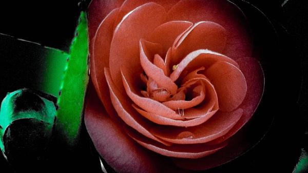 Rose by Chrisjaz