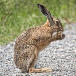 Hare feeding