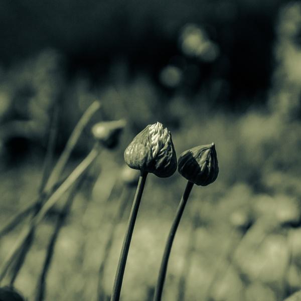 Wild Chive Flowers by eskimo