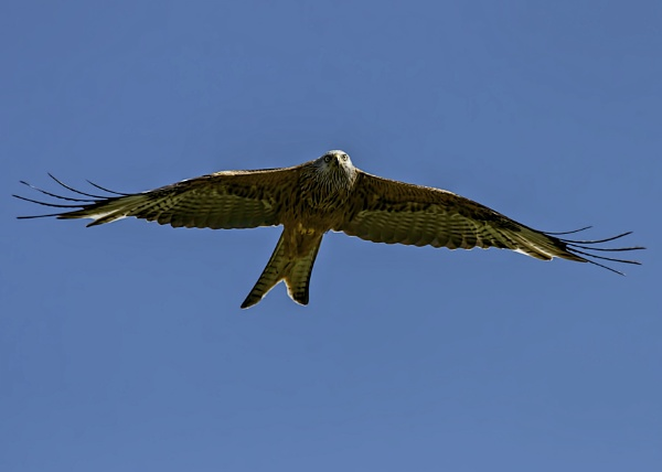 Red Kite soaring. by kingsransom