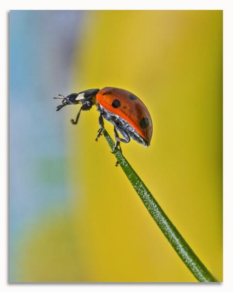 Ladybird by fargon