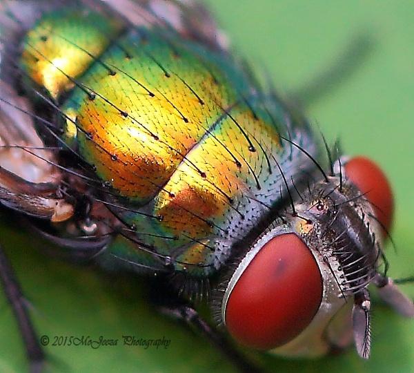 Metallic Fly by mojeeza