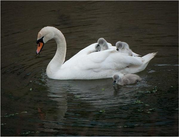 Swan & Cygnets by MalcolmM
