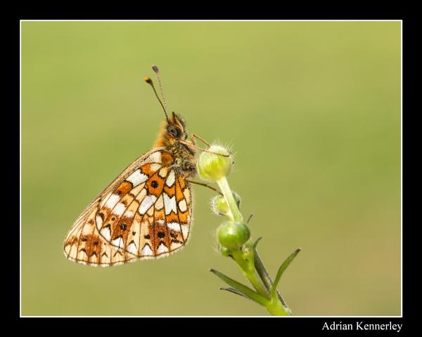 Butterflies 2015 No 25 by tomcat