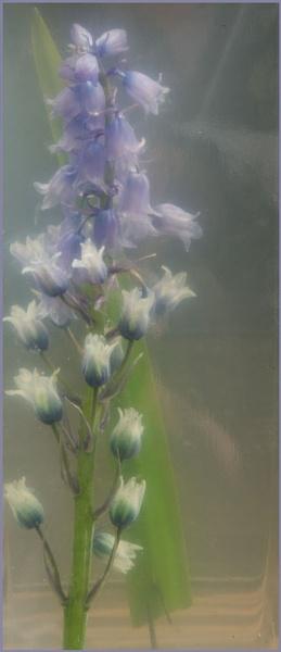 Bluebell. by myrab