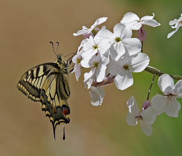 Swallowtail Butterfly by glsammy