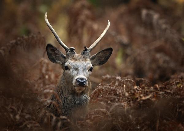 Red deer in bracken by antonoat
