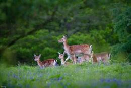 Ashdown Forest Deer