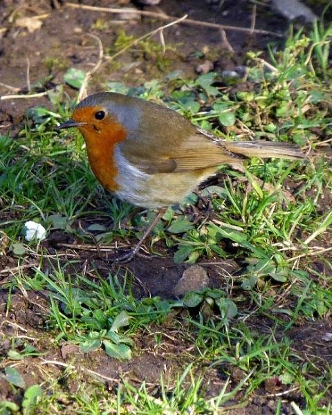 Our favourit  British Bird by bonny