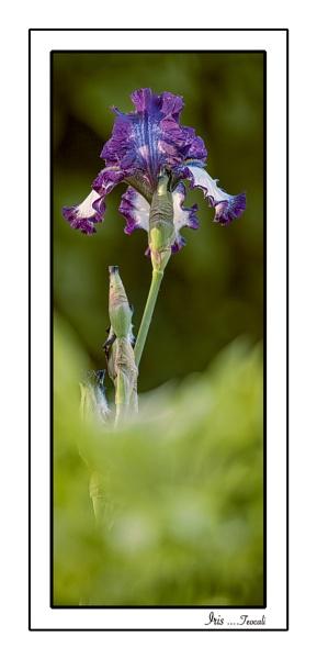 Bearded Iris 2 by teocali