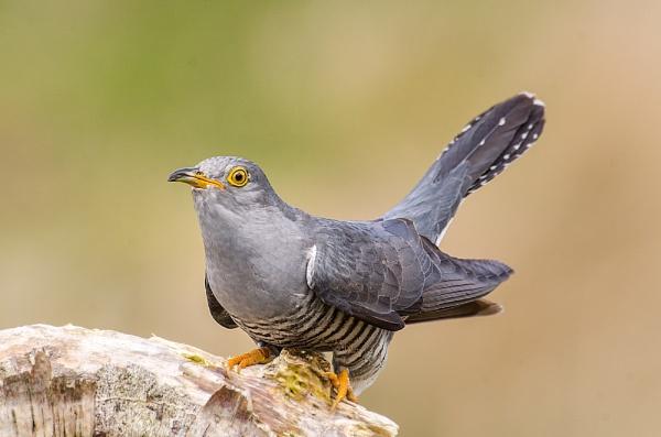 Cuckoo by Kruger01