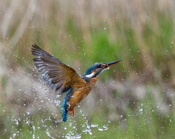 Kingfisher Return from dive. by Kruger01
