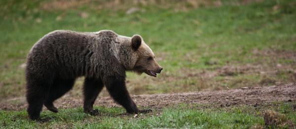 European Brown Bear by rontear