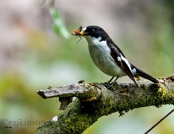 Pied Flycatcher by rsjkinson