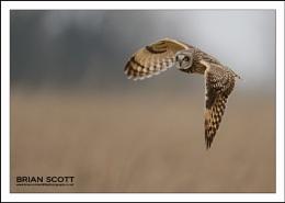 Short Eared Owl !