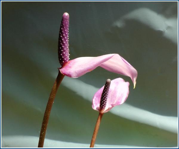 Anthurium Bloom by RajaSidambaram