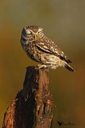 Winking Little Owl