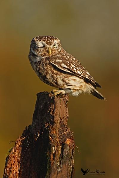 Winking Little Owl by Louise_Morris
