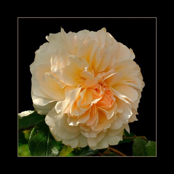 Peach Sorbet by sweetpea62