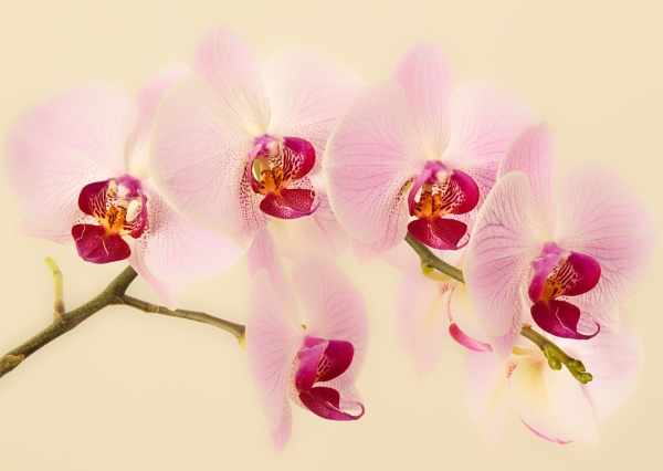 Orchid by HappyBaer