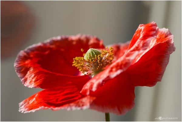 Poppy by NDODS