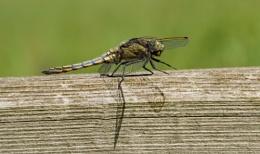 Female Black Tailed Skimmer