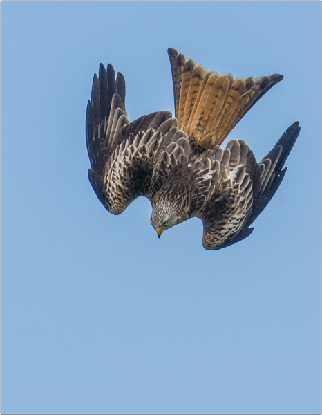 Dive  Red Kite by Scippy