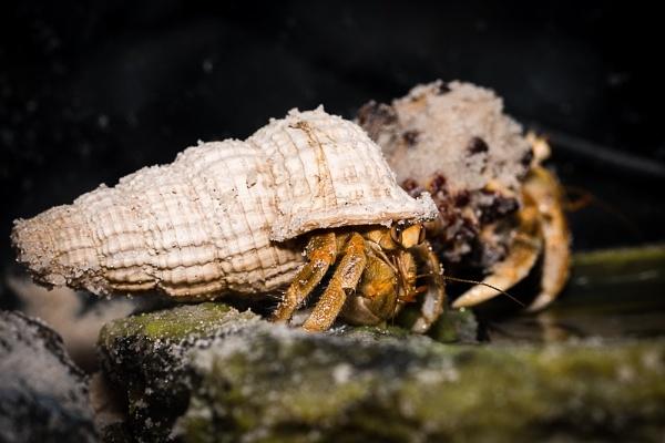 Hermit Crab by dvdrew