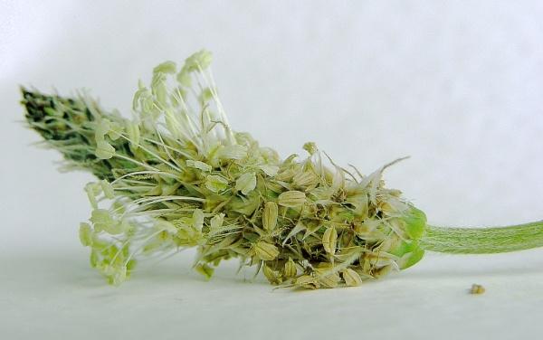 seedhead by enfys