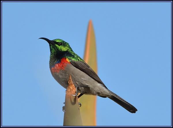 Sunbird by fotobee