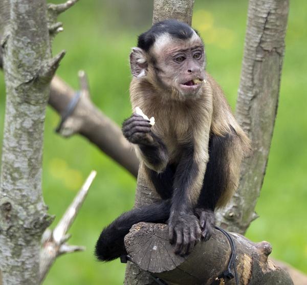 Capuchin by bppowell