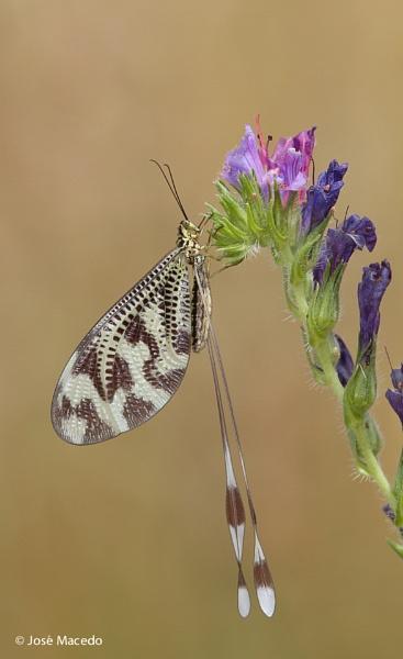 Nemoptera bipennis by lord_macedo