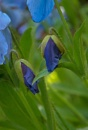 Blue Poppies (1325) by adversa